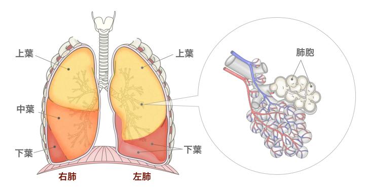 図:肺の構造のイラスト。左右の肺は肺葉、区域に分かれる。最も細かい単位が肺胞。