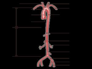 【図解】大腸(結腸・直腸)を栄養する血管(動脈)まとめ
