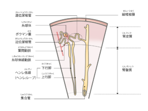 塩類 喪失 性 腎 症