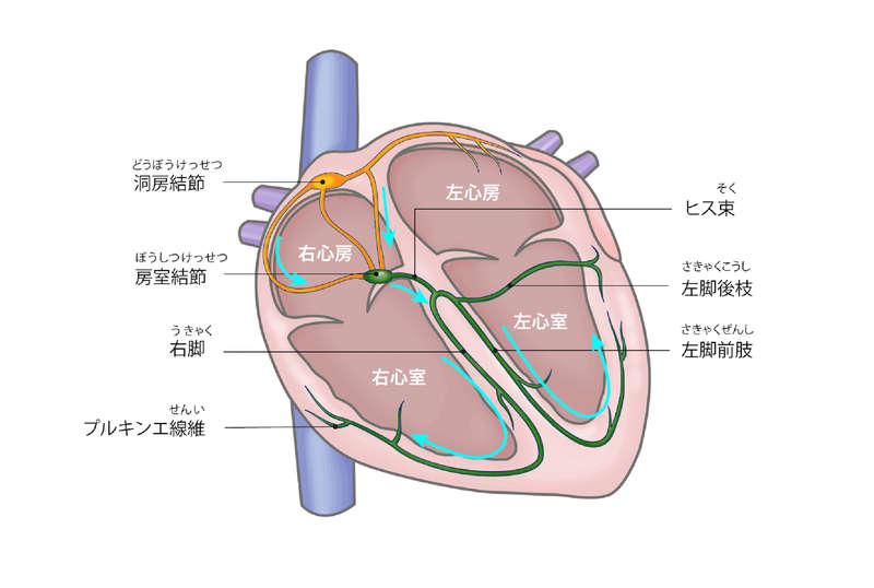 心臓の電気伝導系