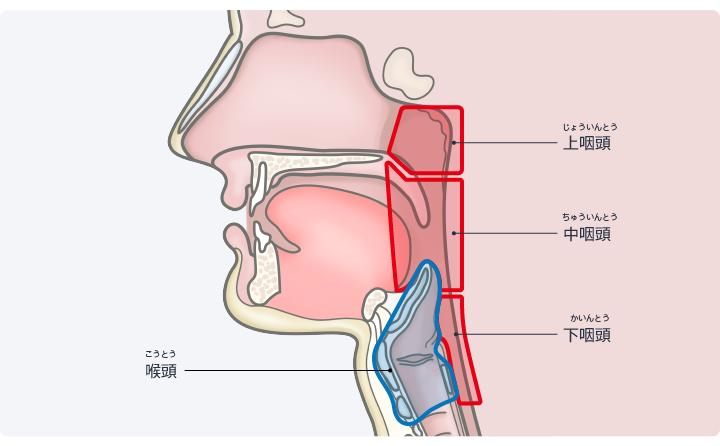 図:咽頭と喉頭の位置関係。