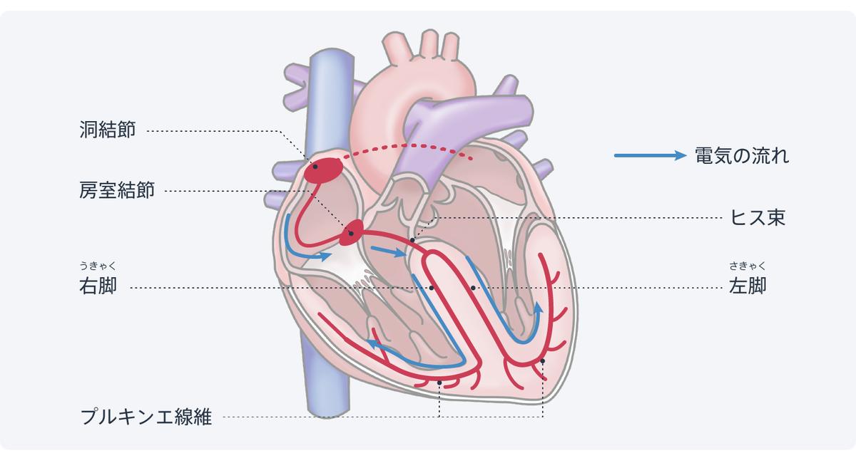 図:心臓を動かす電気信号は洞結節で発生して左右の心筋に伝わる。