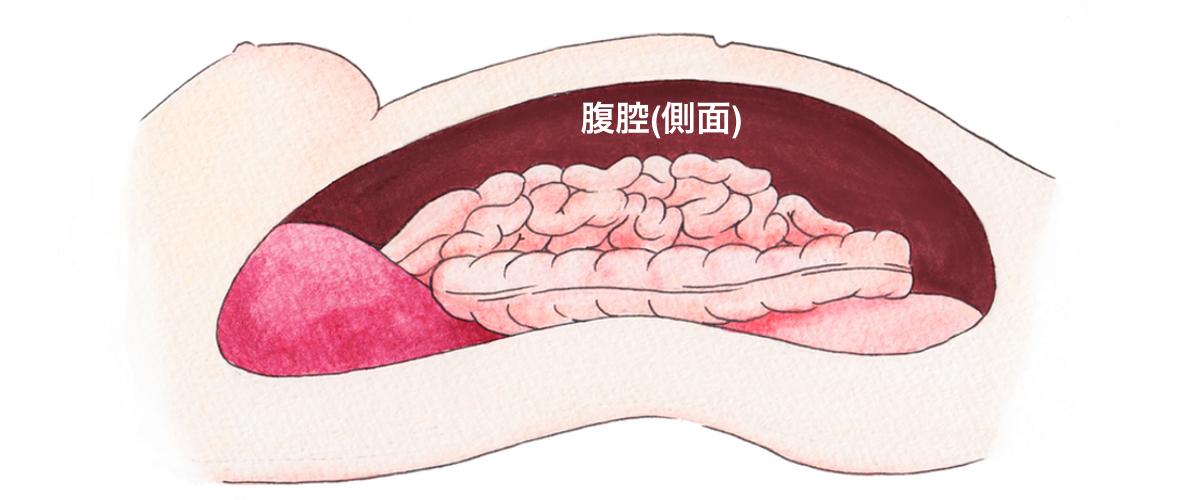 腹腔のイメージ