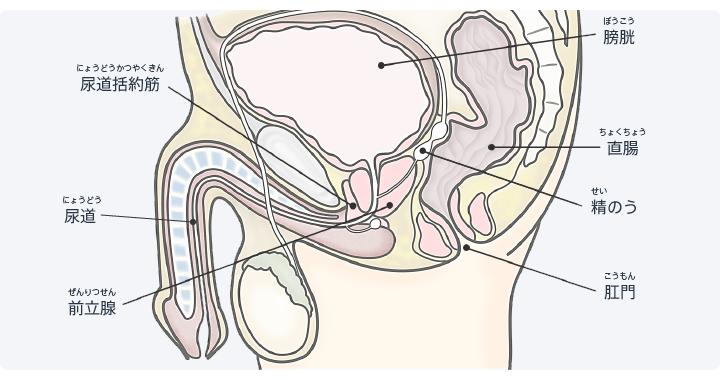 図:前立腺と尿路の位置関係。