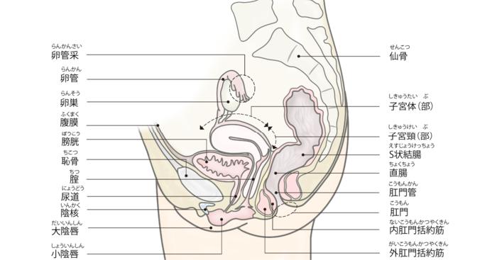 女性の骨盤の正中矢状断。膀胱は子宮と隣り合っている。