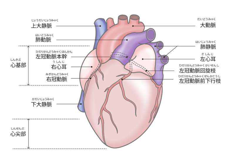 図:冠動脈は心臓を取り巻くように右に1本、左に2本ある。