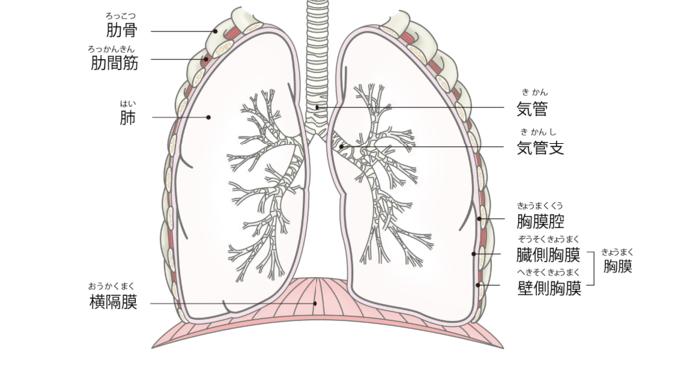 化 線維 肺 が