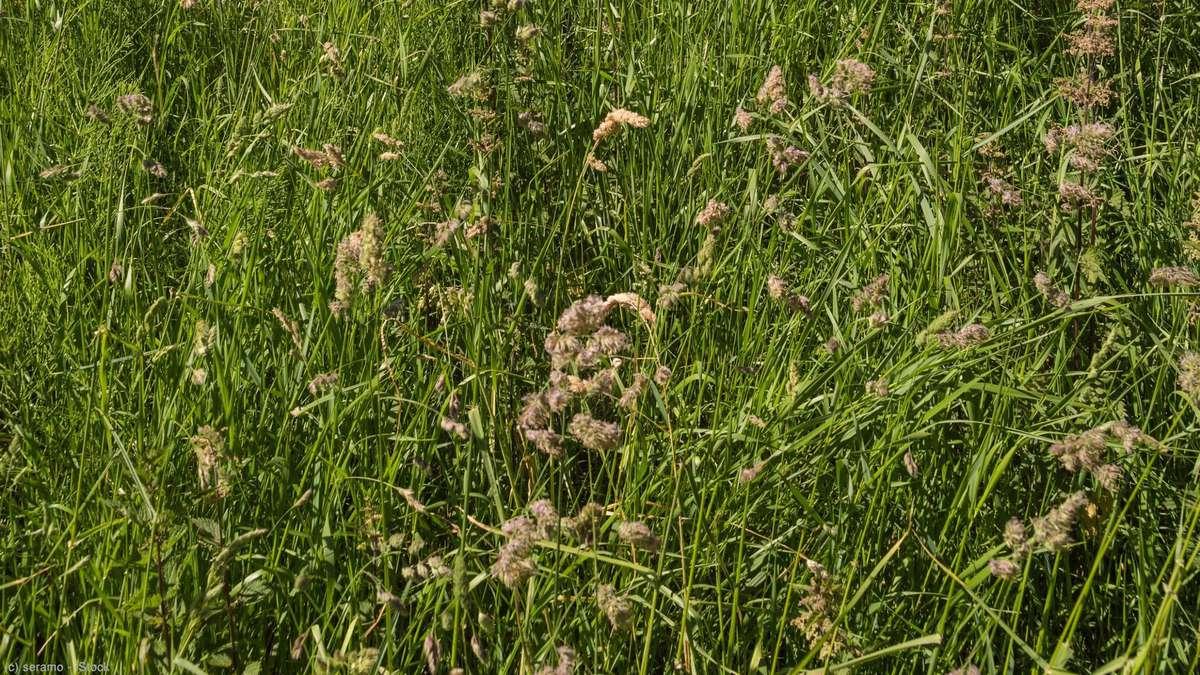 画像:花をつけているカモガヤの群落の写真。