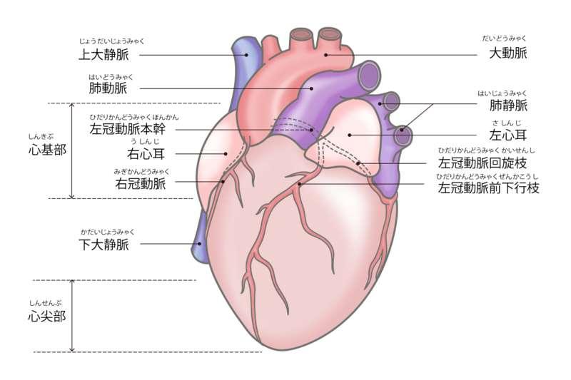 心臓の構造・心尖部