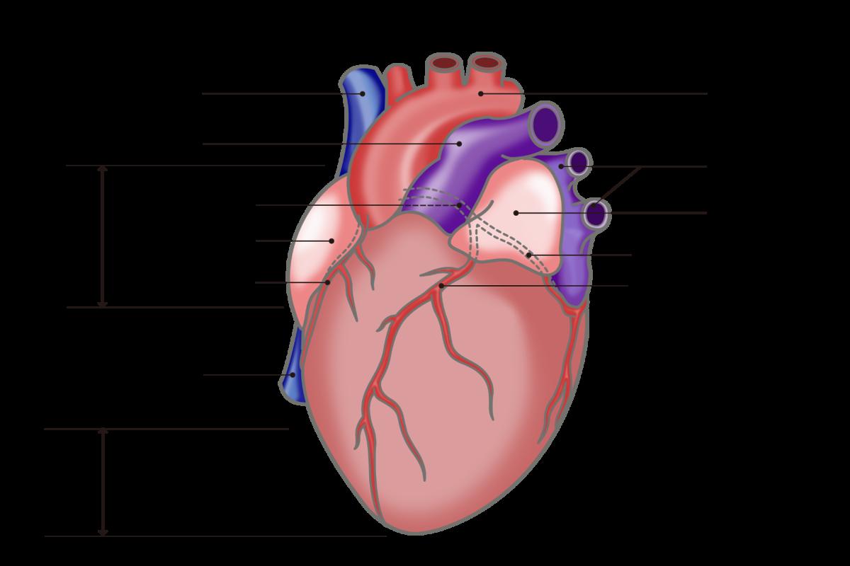 図:3本の冠動脈が心臓を取り巻いている。