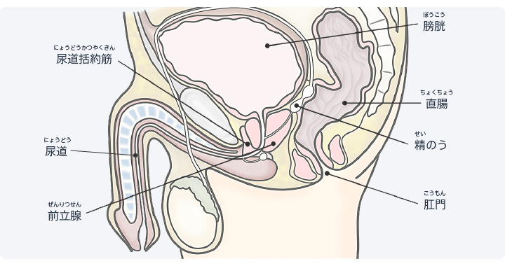 図:前立腺と尿道の位置関係。