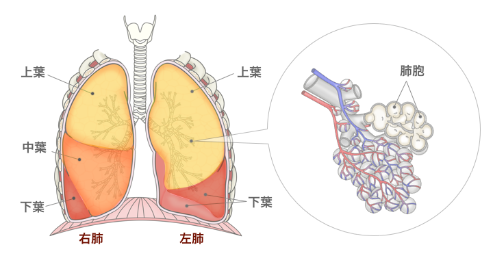 図:肺の構造。右肺は上葉・中葉・下葉、左肺は上葉と下葉に分かれる。肺の最小単位は肺胞。