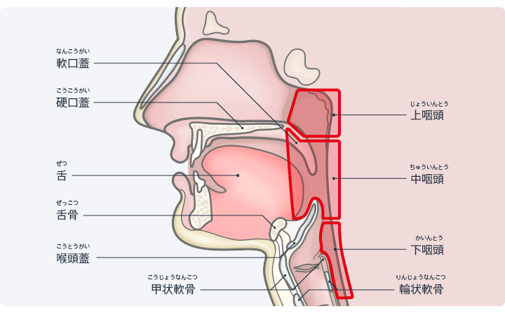 図:咽頭は上咽頭・中咽頭・下咽頭に分けられる。