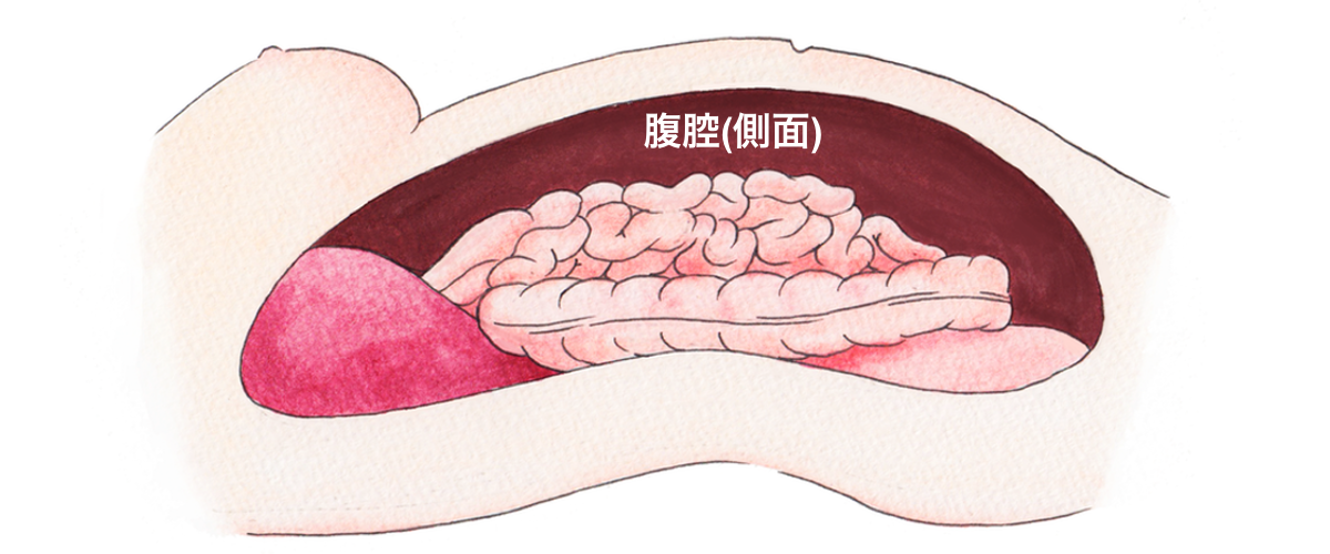 図:腹腔の概念。