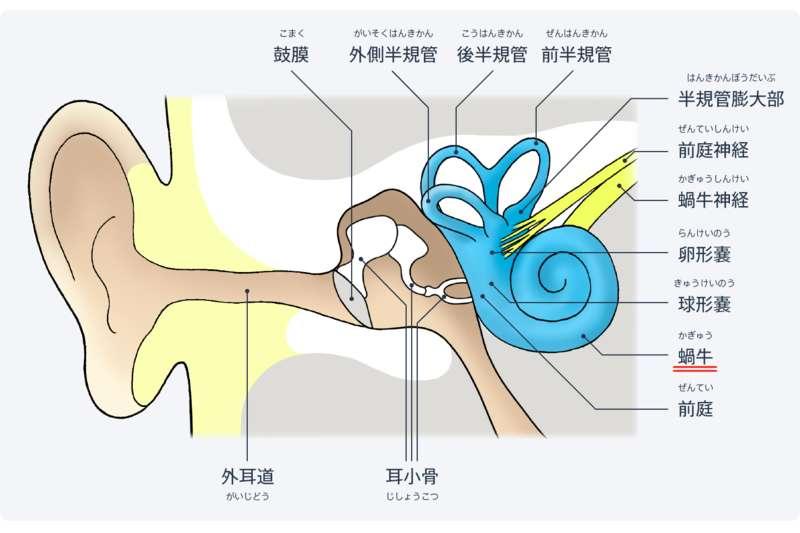 耳の構造、蝸牛
