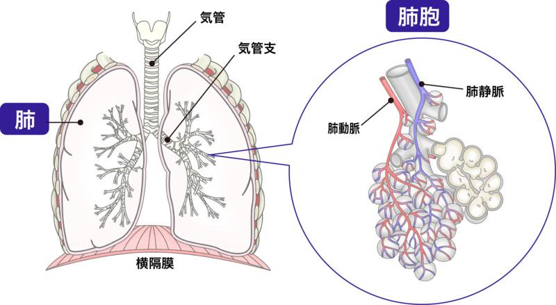 濃度 血 肺炎 酸素 中 FiO2とは何か。PaO2/FiO2の意味