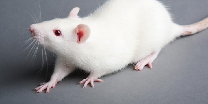 遺伝子治療が遺伝性難聴のマウスに効いた!の写真