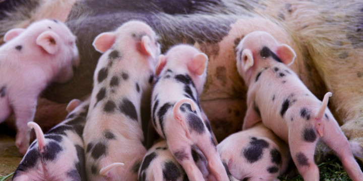 養豚場での抗菌薬を減らすと耐性菌(MRSA)が減った!の写真