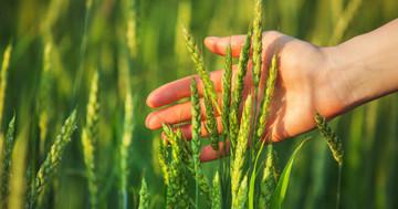 小麦が血糖値・コレステロールを下げる?「stay-green型小麦」が2型糖尿病に示した効果の写真