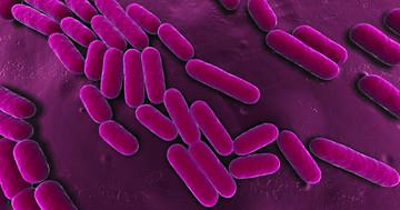 抗生物質を与えられた家畜の肉から、多剤耐性クレブシエラが感染する?の写真