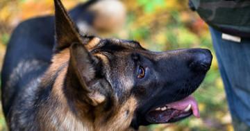 犬がにおいを嗅いで、前立腺がんを発見の写真