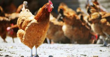 鳥インフルエンザに感染した人は何をしていた? の写真