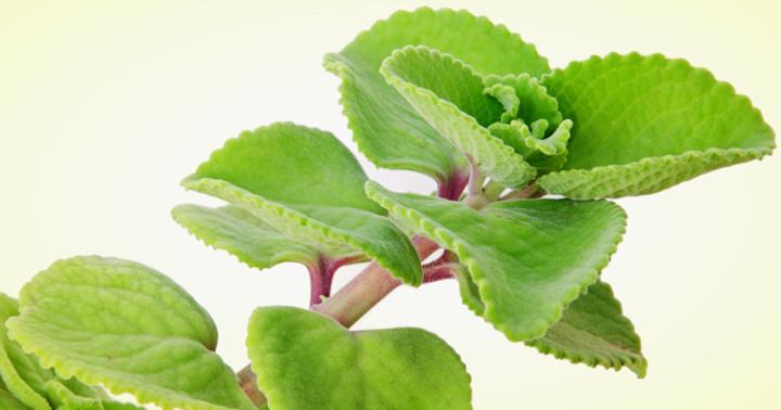 脂肪を燃焼させる植物「コレウス・フォルスコリ」、その効果は? の写真